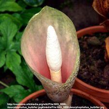 1 Amorphophallus Bulbifer VOODOO LILY Aroid