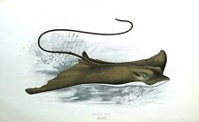 EAGLE RAY Jonathan Couch Original Antique British Isles Fish Print c1870