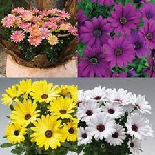 NEW! 20+ OSTEOSPERMUM FLOWER SEEDS MIX  / HALF HARDY PERENNIAL
