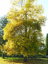 TULIP TREE -Liriodendron tulip 25 viable tested seeds. bargain, reduced price