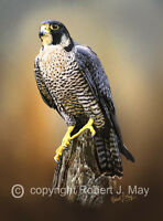 Limited Edition of 50 Peregrine Falcon Prints by Robert J. May