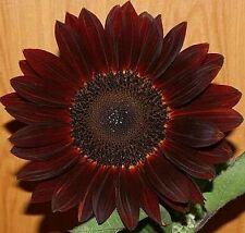 Rare Bonsai Chocolate Sunflower 25 Seeds, Best Quality, High Germination