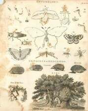 1802  Entomology Moths And Butterflies Cockroach Treehouse Hedgehog Copperplate