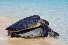 789094 Mating Turtles Great Barrier Reef A4 Photo Print