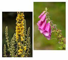 ein toller Blumen-Samen-Spar-Set: Fingerhut und Könisgskerze - wunderbar !