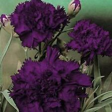 Carnation (Dianthus Caryophyllus Grenadin)- King of Blacks - 50 Seeds