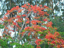 Royal Poinciana Delonix flamboyan tree exotic seed 20 seeds red flower