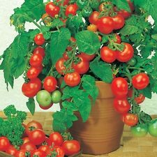 0.3g (appr. 90) tomato seeds ROTKAPPCHEN Compact bush tomato ideal for planters