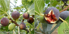 Rare Fig 20 Seeds, Ficus carica, Fig Tree Seeds, Fruits Seeds, Plant Home Garden
