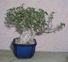 """BONSAI Corallocarpus welwitschii, plant pachycaul extotic rare caudex 4"""" pot"""