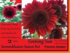 10x Rote Sonnenblumen Samen größer Neu Sorte Saatgut Garten Blumen Pflanze #150