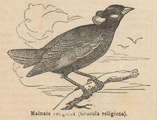 C8449 Gracula religiosa - Stampa antica - 1892 Engraving