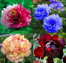 80 seeds China's Peony Seed Paeonia suffruticosa Tree 4 kinds Pink flower etc.