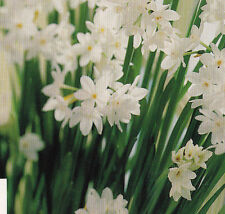 """Paperwhite Narcissus """"Ziva"""" From Israel Bulbs 16/17 cm 5 Bulbs"""