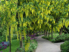 Golden Shower Cassia Fistula Almatas Tree 50 Seeds for Growing