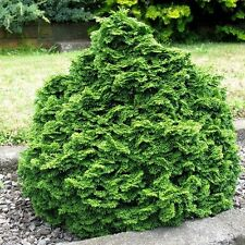 Hinoki Cypress Tree Seeds (Chamaecyparis obtusa) 35+Seeds