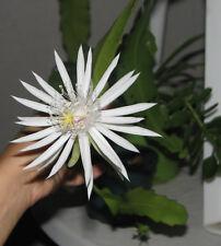 Epiphyllum Hookeri, Orchid Cactus White CUTTING