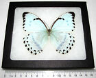 REAL METALLIC BLUE WHITE MORPHO CATENARIA FRAMED BUTTERFLY INSECT