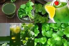 15 TEA BAGS CENTELLA ASIATICA L.URBAN ASIATIC PENNYWORT TEA Herb Healthy Drink
