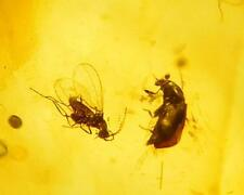 *HHC* Baltic Amber, Fossil Inclusion, Beetle and Fungus Gnat (Inv #A393)