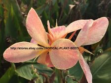 10 seeds Light Pink splash canna lily very beautiful, not plant, flower, pond