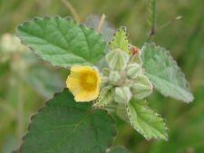 10 Grams Sida cordifolia Herbal Extract ,  Bala Flannel Weed Extract 10X