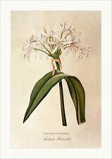 Asiatische Hakenlilie Crinum Asiaticum Amaryllidaceae Americanum Redoute 030