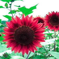 FD1535 Sunflower Seed red Fortune Flower Seed ~1 Pack 15 Seeds~ A