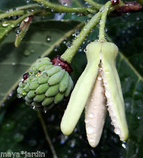 6 Graines Attier Pomme Cannelle (Annona) Sugar Apple Samen Semillas Seeds