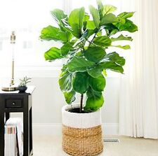 FIDDLE-LEAF FIG Ficus Lyrata popular office/house plant in 125mm pot