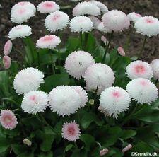 Flower seed - DAISY ENGLISH POMPONETTE WHITE - BELLIS PERENNIS