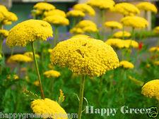 YARROW CLOTH OF GOLD - Achillea Filipendulina -  3100 seeds - Perennials flower