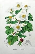 Rubus deliciosus, usa, van houtte, antique botanique imprimé fleuri c1850