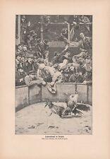 Hahnenkampf in Belgien DRUCK von 1906 Hanengevecht Cockfight