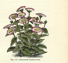 Stampa antica FIORI MARGHERITA DORONICUM PLANTAGINEUM 1896 Antique Print