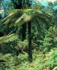 Hardy Rough Tree Fern (Cyathea australis) - 25+ Fresh Spore (seeds)