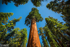 20 seeds of Sequoias tree huge red wood redwood Sequoiadendron giganteum