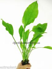 "Amazon Sword X Large Size 12""+ Echinodorus Bleheri Live Aquarium Plants B2G1FREE"