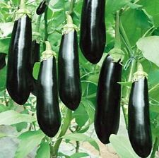FD941 Rare Long Black Eggplant Seed Solanum Melongena Vegetable Seeds ~30 Pcs~