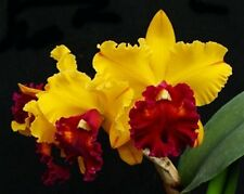 Rare orchid species  (seedling size) - Brassolaeliocattleya tainan gold