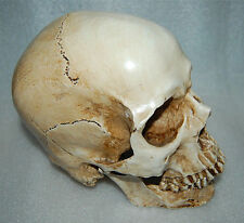 Collectable Resin Replica 1:1 Life Human Anatomy Skull Medical Party terrorist