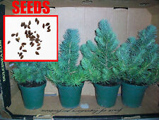 25 AWESOME Blue Christmas Tree Seeds! Grow Your own Live Xmas Tree! Blue Spruce