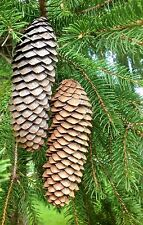"Long Slender 25 + Pine CONES NATURAL Norway Spruce CRAFTS WREATHS 5 "" Pinecones"
