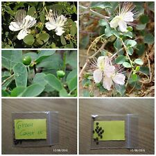 Greek Caper ''Capparis Spinosa'' ~15 Top Quality Seeds - Herb - World's Best
