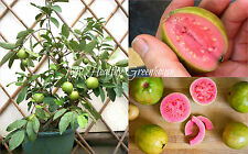 "SEEDS - Dwarf Ruby Guava – ""Psidium guajava"" Thailand Exotic Tropical Pink Flesh"