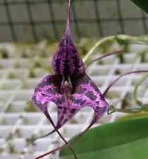 Orchidea Masdevallia SUNSET JAGUAR