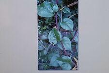 2 semillas Espinaca-Ceylon, Basella alba var.rubra, #204
