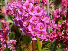 bergenia cordifolia new hybrida (Elephants Ears). Mixed . 40 seeds.