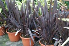 Purple New Zealand Flax - PHORMIUM TENAX Purpureum - 25 Fresh Tropical Seeds
