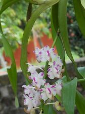 Aerides Orchid ( 1 live plant)